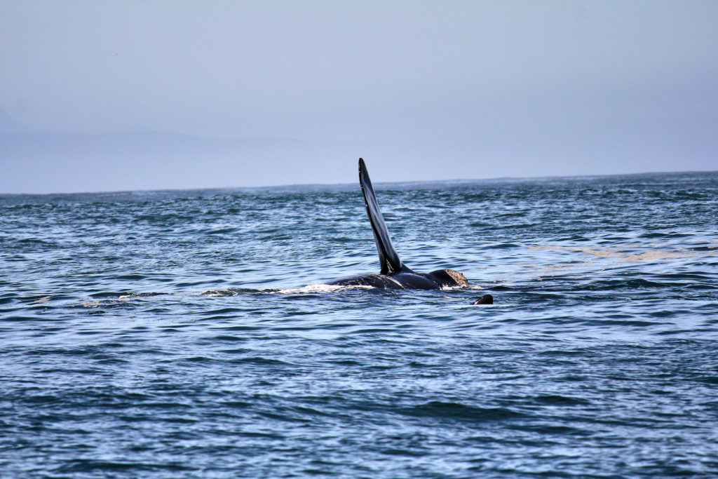 Whale-Watching in Plettenberg Bay